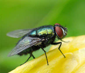 Housefly Pest Control
