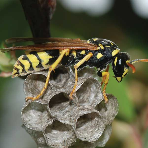 Wasps Pest Control